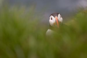 Lunnefågel